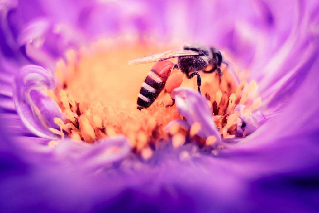 Abeille qui butine une jolie fleur violette